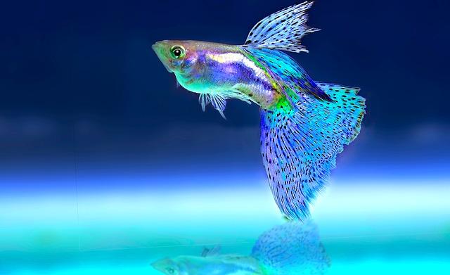 okrasná ryba