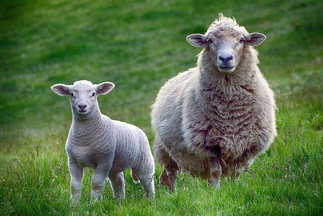 ovce a jehně