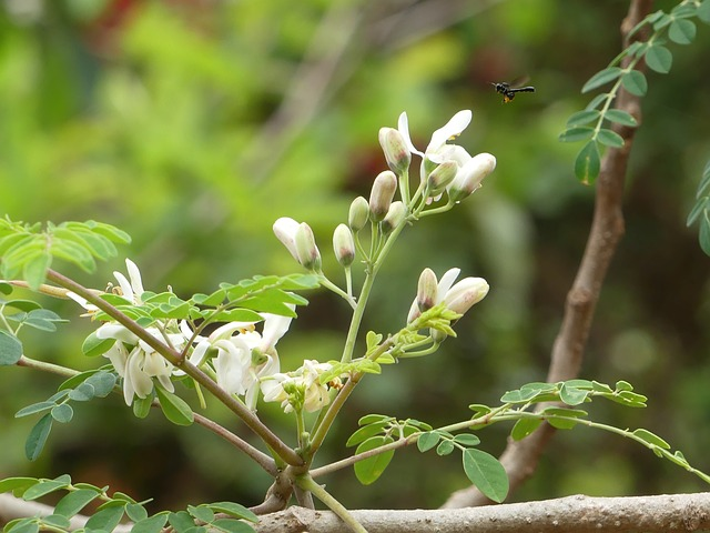 Moringa v přírodě